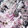 Japan' spiritual heart in its blossom time Or Hanami (Cherry-blossom viewing) in Japan